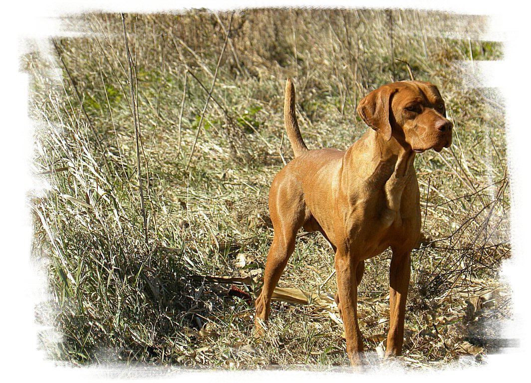 Hungarian Vizsla for s...